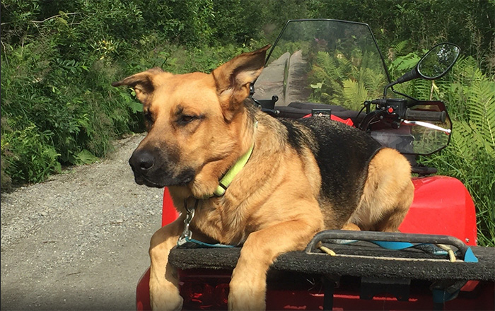 German Shepard rides on ATV